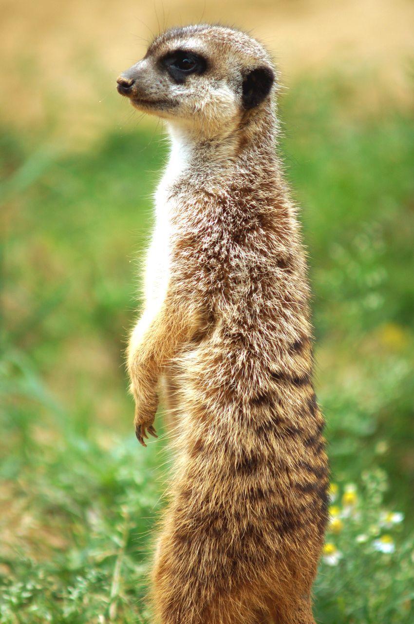 Close-Up Of Meerkat Standing On Field
