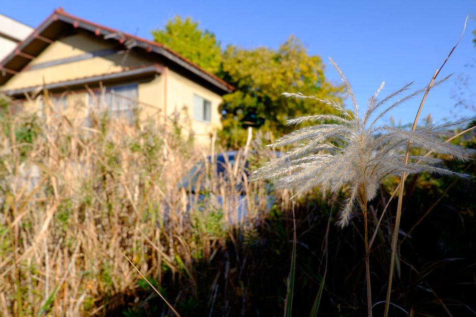 Fujifilm Fujifilm X-E2 Fujifilm_xseries Grass Japan Japan Photography Outdoors Plant Silvergrass すすき