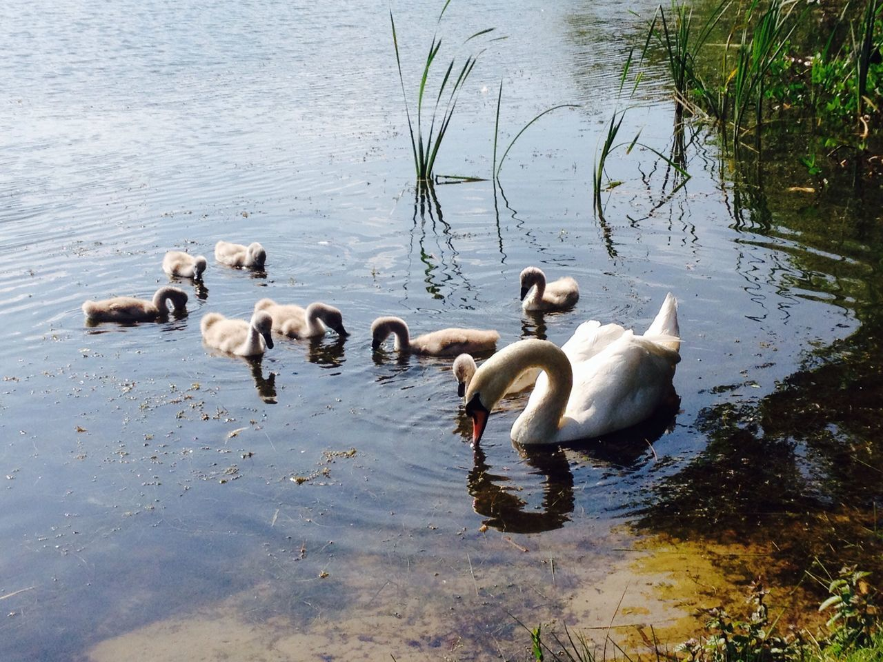 lake, water, animal themes, animals in the wild, bird, reflection, young animal, no people, young bird, swan, nature, large group of animals, animal wildlife, swimming, togetherness, animal family, day, outdoors, cygnet