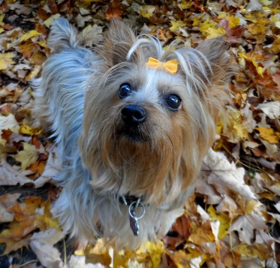 Alertness Animal Hair Animal Head  Autumn Leave And Small Dog Close-up Cute Day Dog Domestic Animals Focus On Foreground Furbaby Mammal Nature No People Outdoors Pets Portrait Puppy Selective Focus Silky Terrier Snout Spoil Rotten