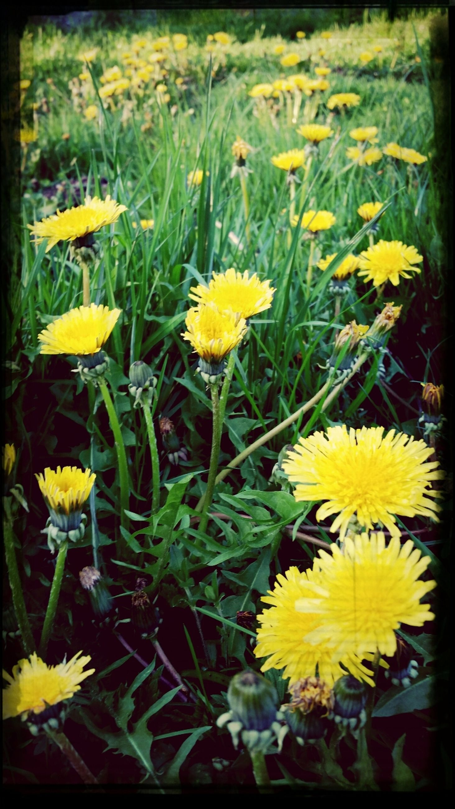 flower, freshness, yellow, fragility, petal, growth, flower head, beauty in nature, blooming, nature, plant, field, in bloom, transfer print, leaf, close-up, blossom, daisy, pollen, high angle view