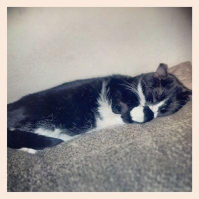 My nap buddy Muse. Caturday Catlovers Catsofinstagram Igcats instagramcats stlouiscardinalscats ilovecats teamcatmojo Catlanta