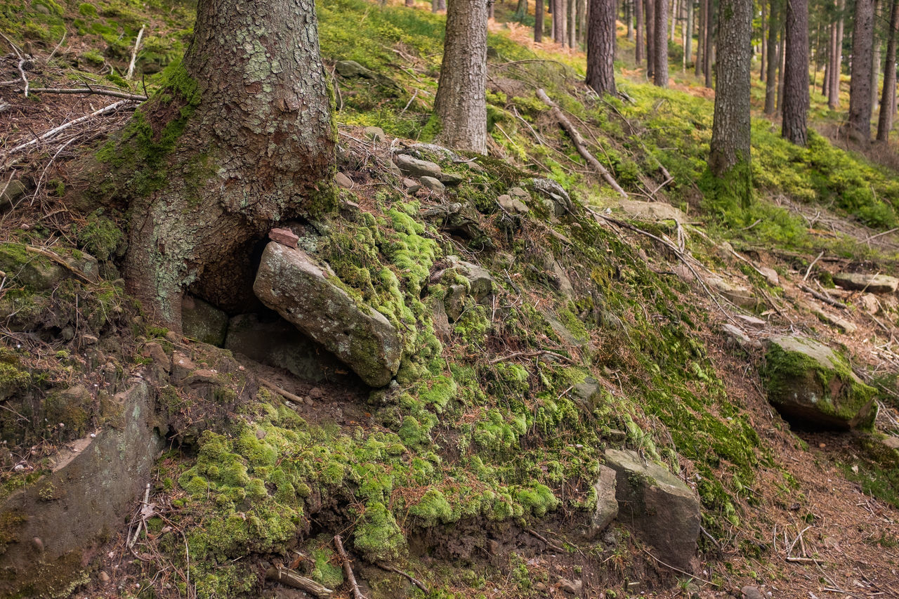Black Forest Germany Close-up Day Forest Growth Lush - Description Moss Nature No People Outdoors Southern Germany Tree Tree Trunk