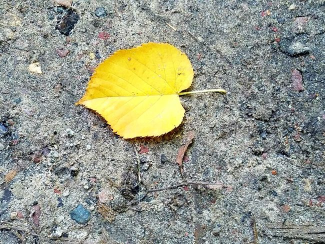 Leaf Yellow Season  Change Autumn High Angle View Close-up Leaf Vein Nature Fragility Day Outdoors Natural Condition Yellow Color No People Wisconsin Devilslake  Beauty In Nature Dirt Glen Merrimac Wisconsin