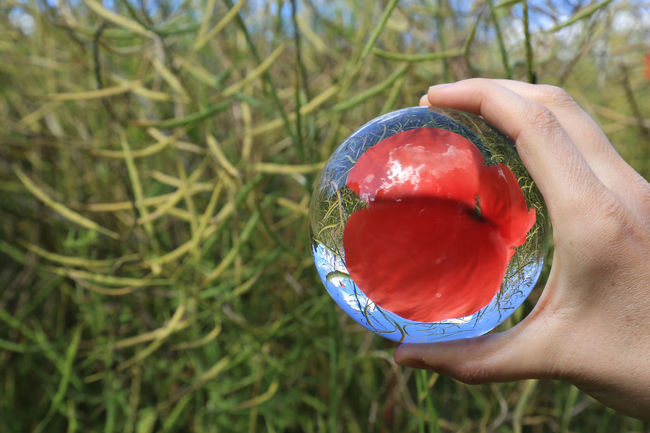 Glasball Red Flower Mohnblume Focus On Foreground Beauty In Nature Nature Flowers Glassballphotography Glassball_photos EyeEm Flower The Week On Eyem The Week Of Eyeem Showcase July