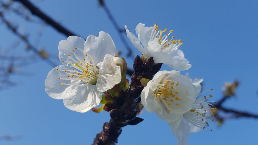 Beauty In Nature Nature Flower Springtime Growth Blossom Branch Plant Close-up Flower Head Outdoors Almond Tree Tree Sky No People Day Freshness Cherries🍒 Cherrytree Cherry Blossoms