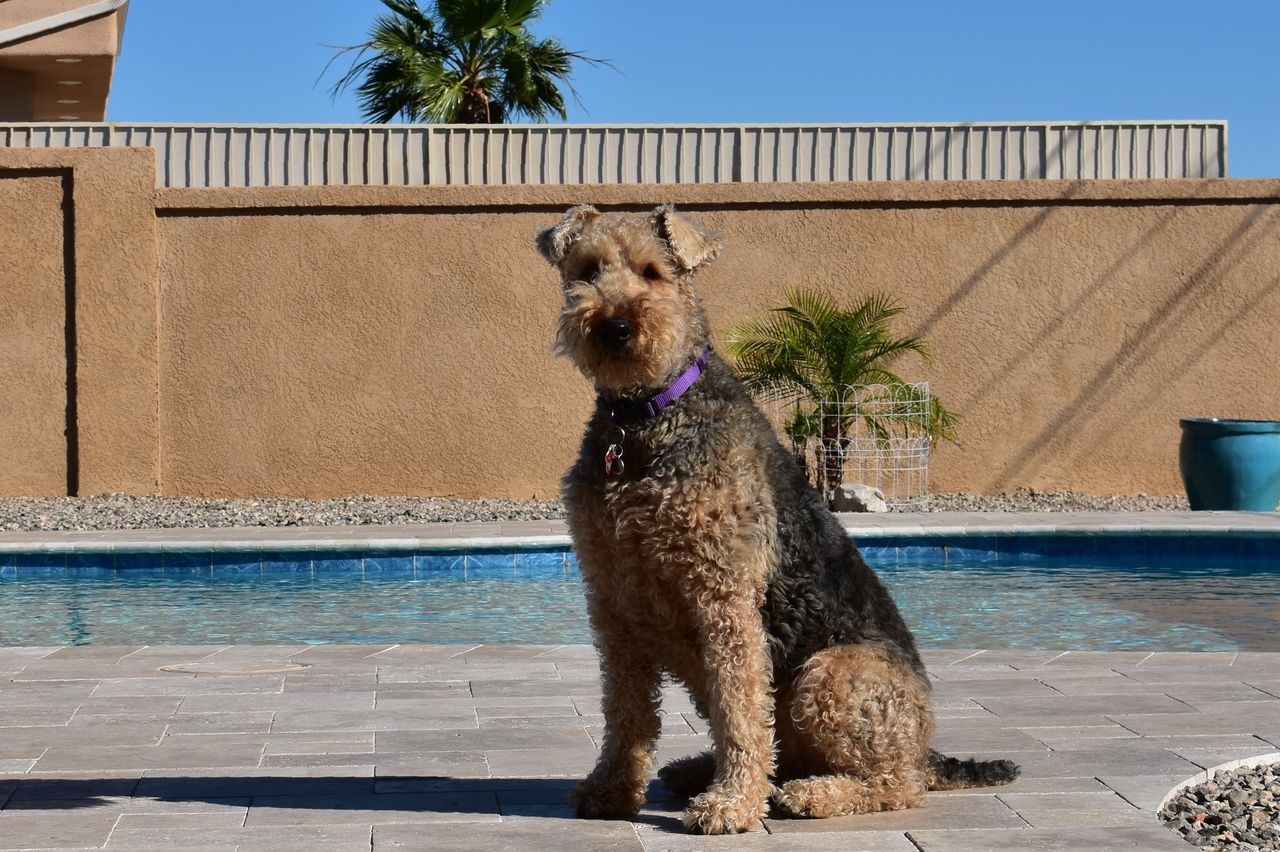Airedale pool Dog One Animal Domestic Animals Pets Animal Themes Water Palm Tree Day Mammal Outdoors No People Tree Nature