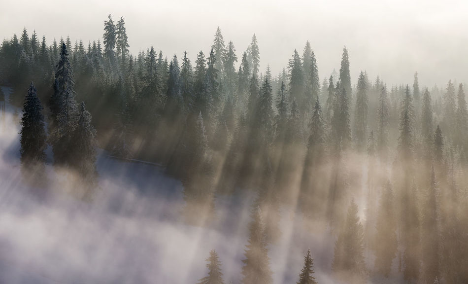 Rays of light in Rodnei Mountains Beauty In Nature Coniferous Tree Day Fog Foggy Forest Landscape Light Light And Shadow Mountain Natural Parkland Nature No People Outdoors Pinaceae Pine Tree Pine Woodland Rays Scenics Sky Snow Sunbeams Tree
