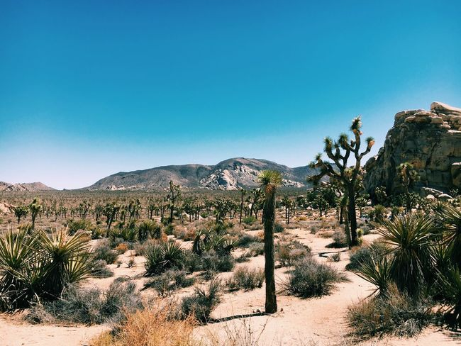 Desert Clear Sky Plant Desert Tranquil Scene Landscape Tranquility Scenics Arid Climate Blue Remote Cactus Growth Copy Space Solitude Beauty In Nature Nature Sunlight Mountain Joshua Tree