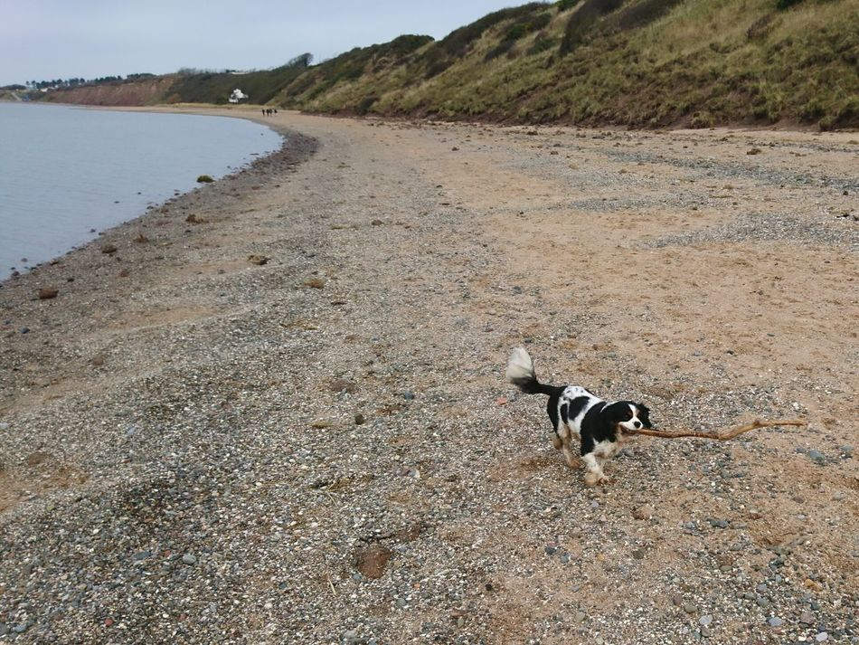 Ruby And Her Stick Beach Sand High Angle View Animals In The Wild Paw Print Animal Themes Water Tranquility Outdoors No People Day Wirral River Dee  Thurstaston Beach Cavalier King Charles Spaniel Swimming Stick Stick Chasing