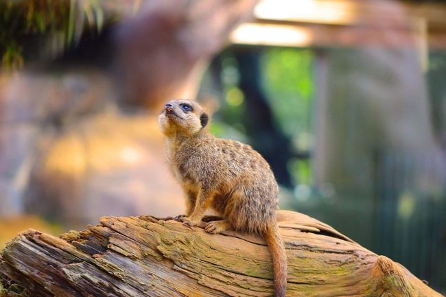 Meerkat One Animal Animal Themes Animals In The Wild Wildlife Focus On Foreground Zoology Close-up Tree Trunk Wood - Material Meerkat Perching Day Nature Animal Beauty In Nature