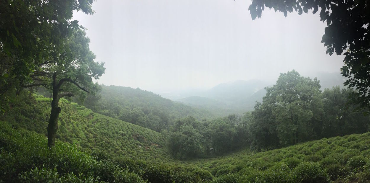Tea plantation near Hangzhou | 2016 Beauty Beauty In Nature Day Detox Fog Forest Freshness Hangzhou Landscape Lush - Description Lush Foliage Mountain Nature No People Outdoors Scenics Sky Tea Tea Village Tranquility Tree