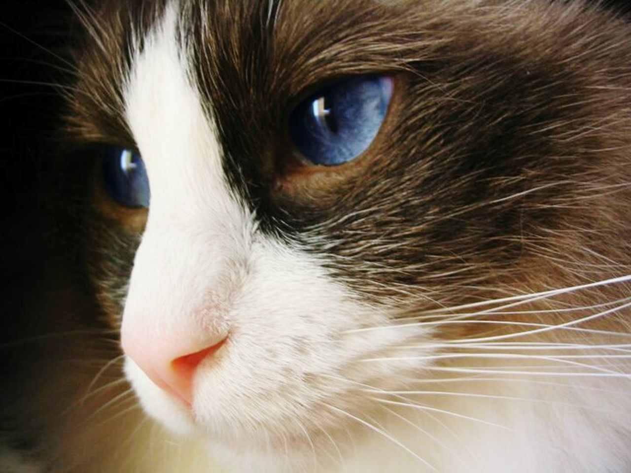 First Eyeem Photo Cat Model Cat Portrait Cat Lovers Cat Eyes Blue Eyes Blue Eyed Cat Feline Portraits Feline Eyes Feline Photography, Ragdoll Cat Stunning Look Close-up Fine Art Portrait Fine Detail EyeEm Gallery Best Of EyeEm Color Contrast Thoughtful Close Up Cat Photography Longhaired Cats Contentment Wisdom See Right Through