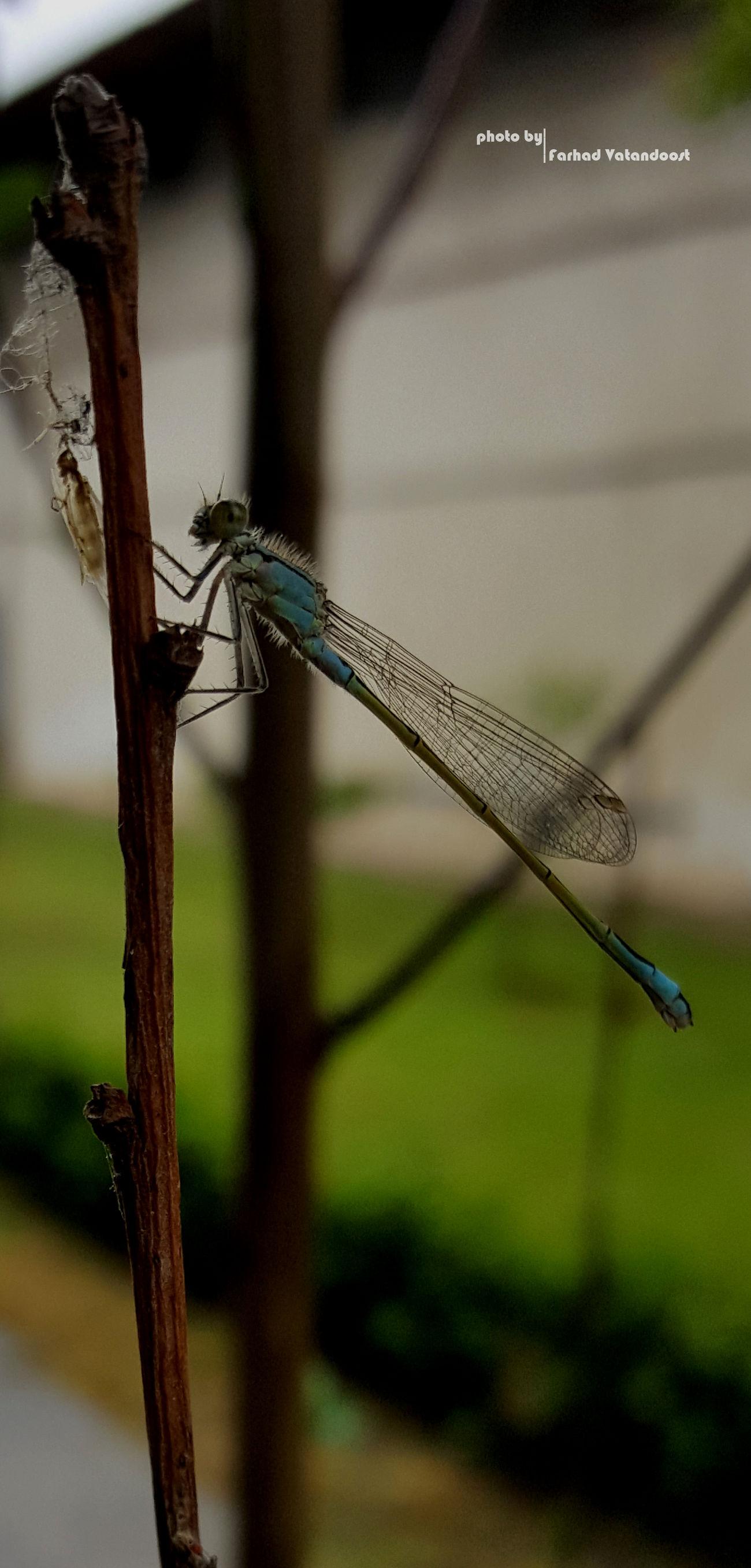 Dragonfly Dragonfly Photograohy Iran Street Photography Iran Guilin سنجاقک Samsung Galaxy S6 Edge+ Samsung Guilan 😊💝😏 Good Night Anzali,gilan, Iran بندرانزلی Samsun Samsung Galaxy S6 Edge Samsungphotography