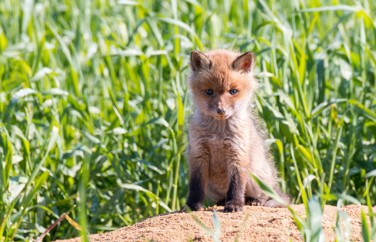 Beautiful stock photos of fuchs, one animal, animal themes, wildlife, animals in the wild