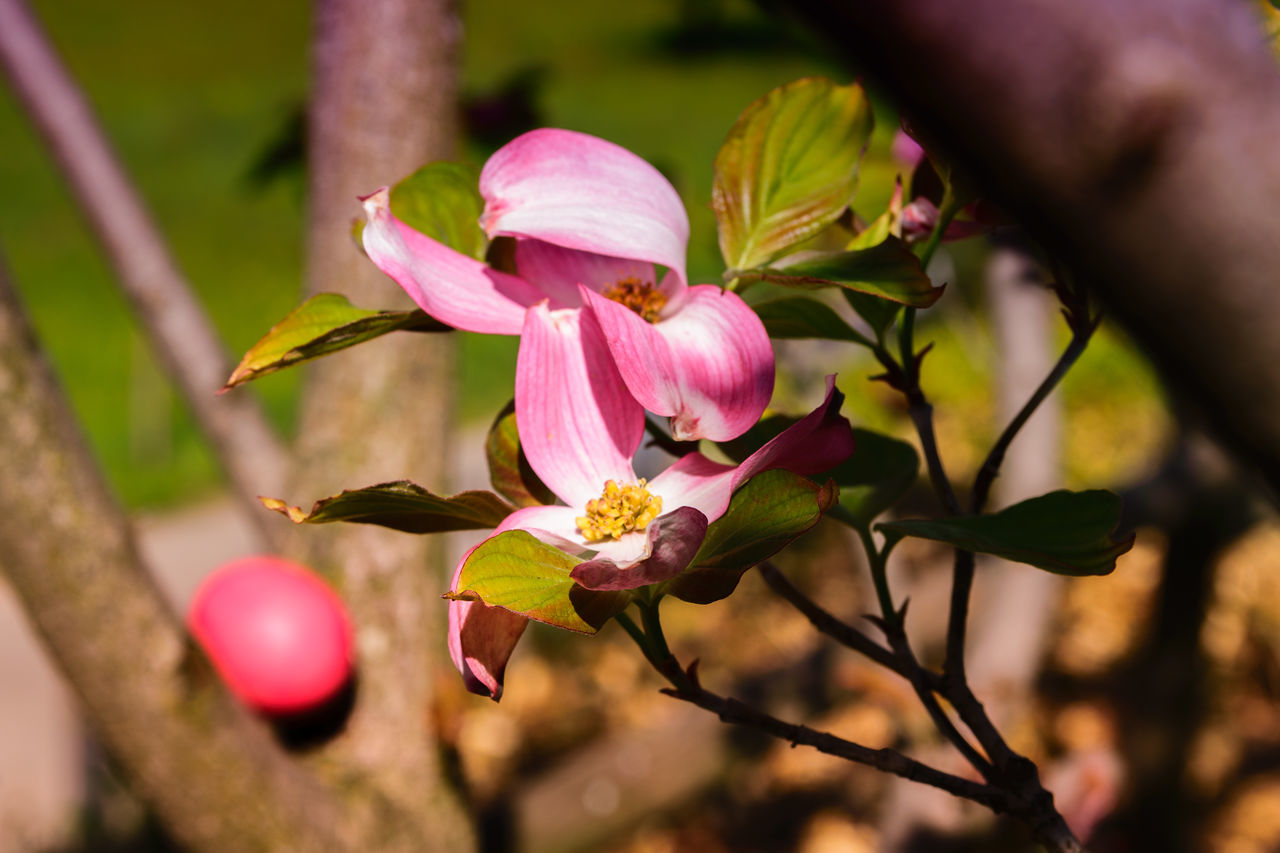 flower, petal, nature, fragility, freshness, growth, beauty in nature, close-up, outdoors, flower head, pink color, day, plant, leaf, no people, branch, blooming, tree
