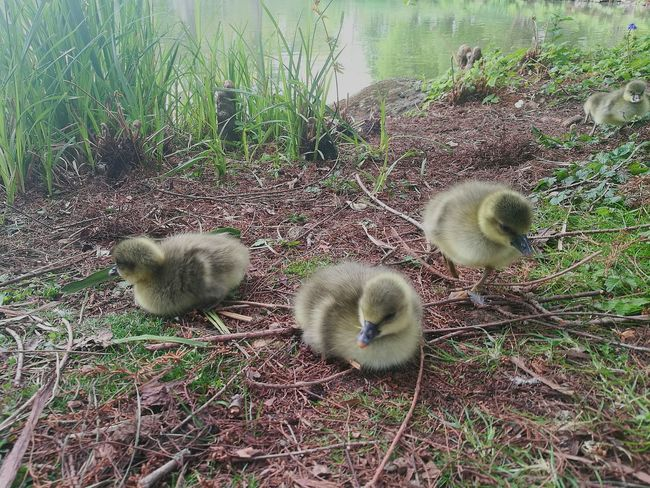 Geese In Nature Nature Scene Geese Baby Geese Geese Babies Baby Bird🐣 Baby Birds Love Birds Fluffy Smartphonephotography HuaweiP9 Babies Outdoors Geese At The Lake Spring Outdoor Scene Spring Babies Tranquil Scene Bird Geese Photography Nature Close-up Springtime Park Bird Photography