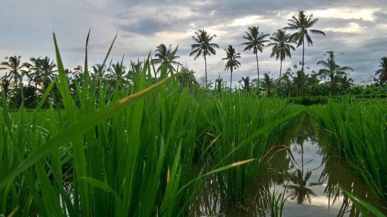 Pawagan Bali Bali Indonesia Cloudy Island Islandlife Pawagan Reflection Ricefield Ricefields