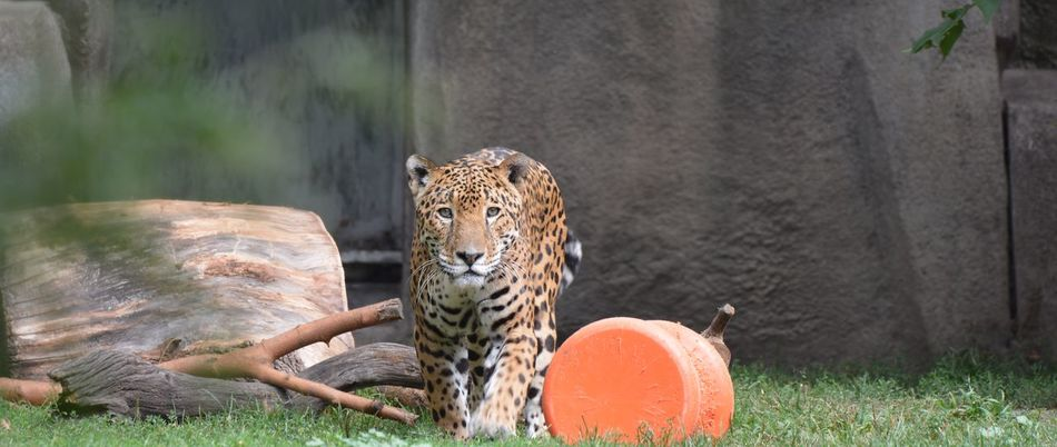 Beautiful stock photos of jaguar, Animal Themes, Animals In The Wild, Day, Endangered Species