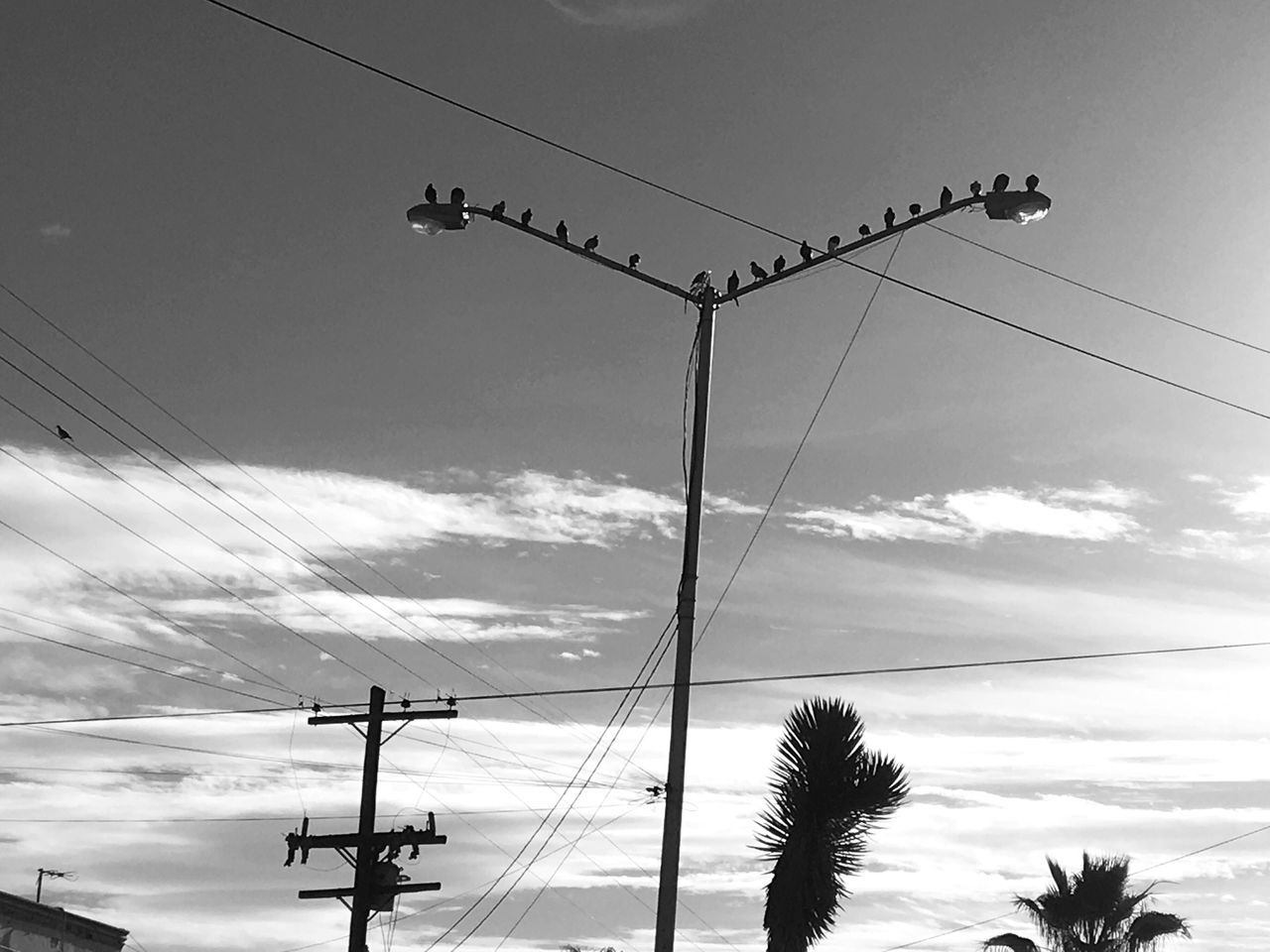 Adapted To The City Blackandwhite Power Line  Cable Birds Low Angle View Cloud - Sky Outdoors Electric Pole Justtakingpictures