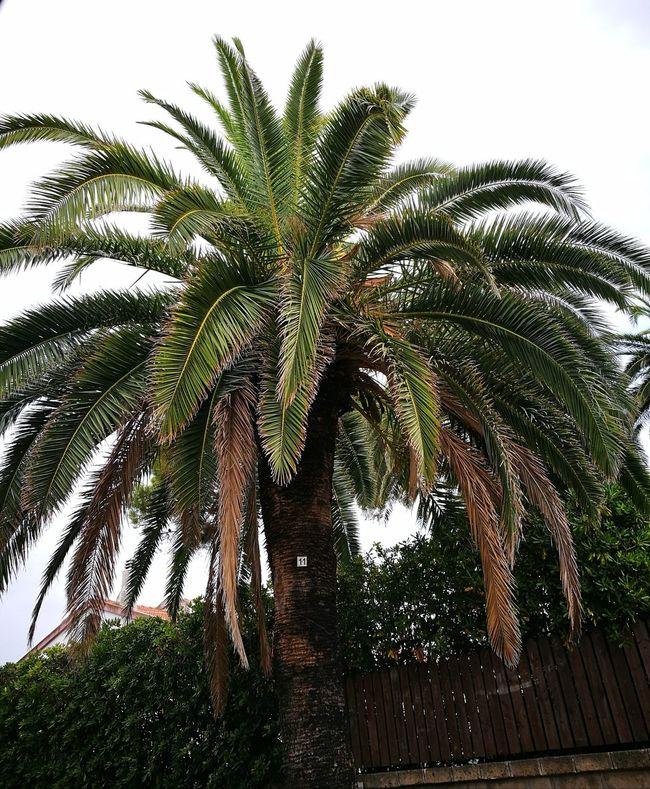 Palm Tree Palm Trees Palm Tree Palmtree Palmtrees Palm Tree Silhouette Palmtreeporn PALMTREES 🌴🌴🌴 Palmtreecollection Palmtree Colors Taking Photos Check This Out Enjoying Life Enjoying Photography Italy SantaMarinella