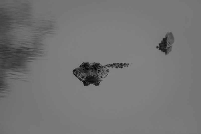 South Florida American Alligator holds very still in mirror calm water awaiting a meal to pass by. Alligator American Mirror Swamp Waiting Black And White Photography Everglades  Everglades National Park Florida Ready-to-eat Staring Still Water