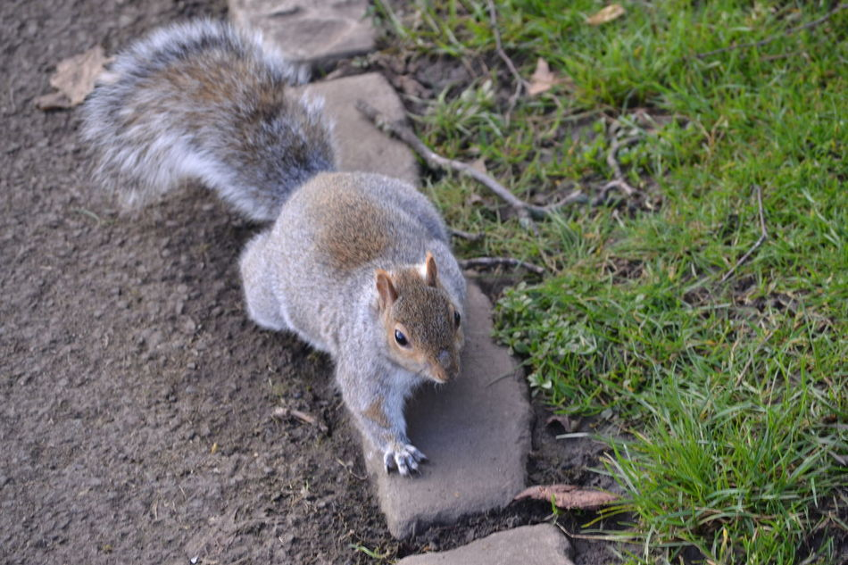 Alertness Animal Themes Animal Wildlife Animals In The Wild Careful Day Feeding Animals Fluffy Furry Furryfriend High Angle View Hunting Mammal Nature No People One Animal Outdoors Squirrel Stalking Tail