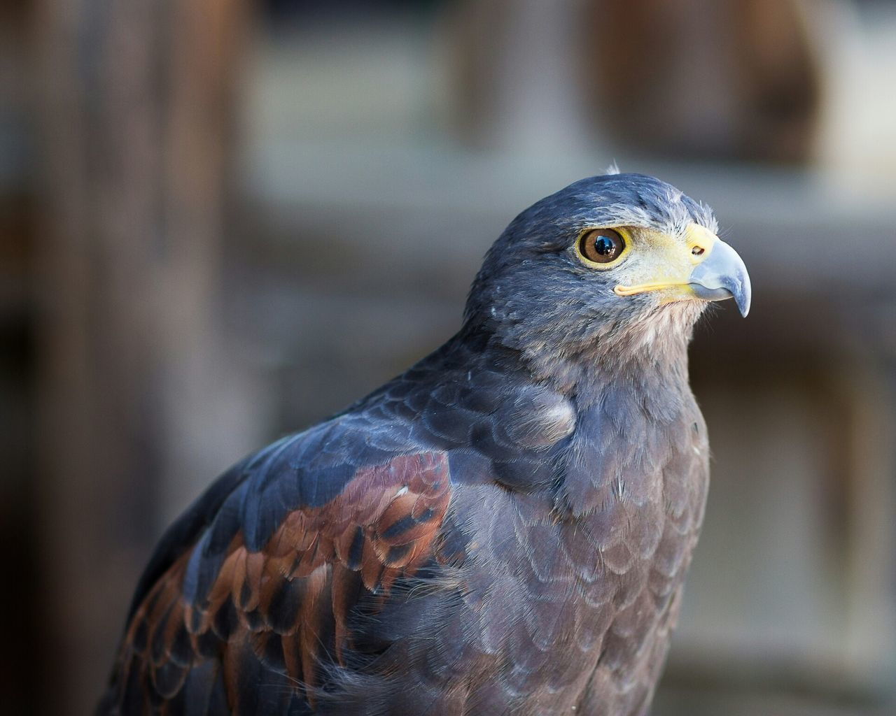Beautiful stock photos of hawks, Animal Themes, Animals In The Wild, Bird, Close-Up