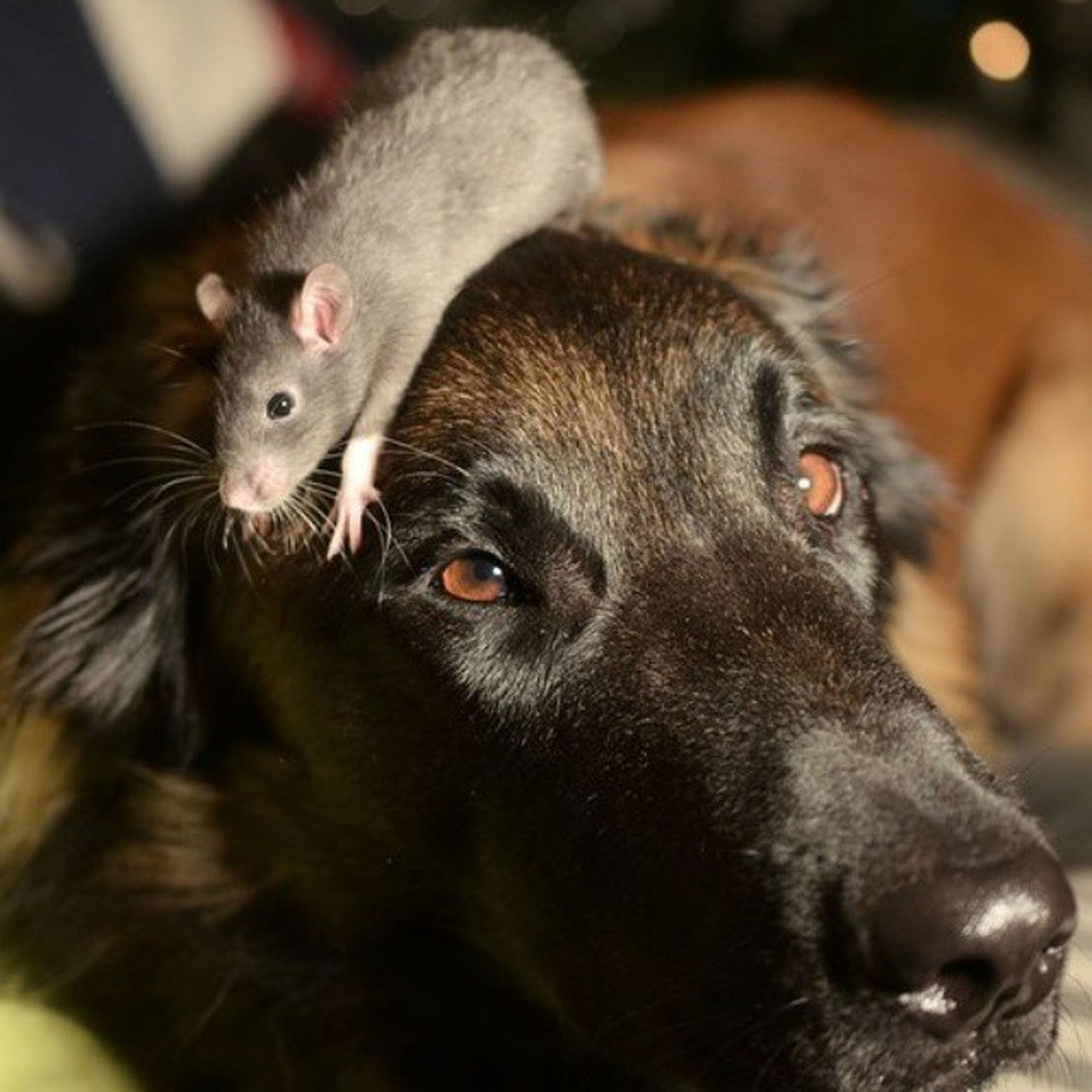 animal themes, domestic animals, mammal, pets, one animal, dog, focus on foreground, portrait, looking at camera, close-up, two animals, young animal, animal head, selective focus, no people, indoors, black color, cute, day