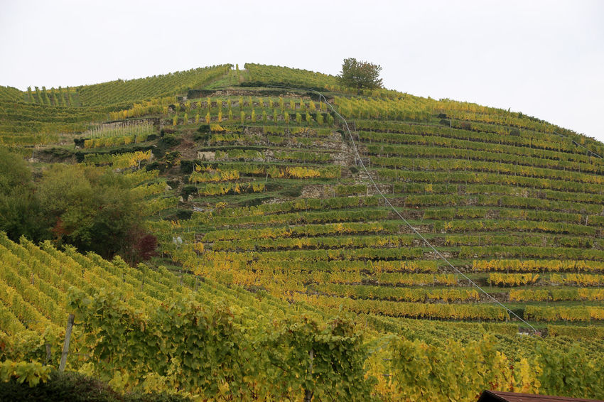 A vineyard in Varnhalt Agriculture Ancient Civilization Beauty In Nature Clear Sky Day Farm Field Green Color Growth Hill History Landscape Low Angle View Mountain Nature Outdoors Plant Rural Scene Scenics Sky Steps Tranquil Scene Tranquility Varnhalt Vineyard