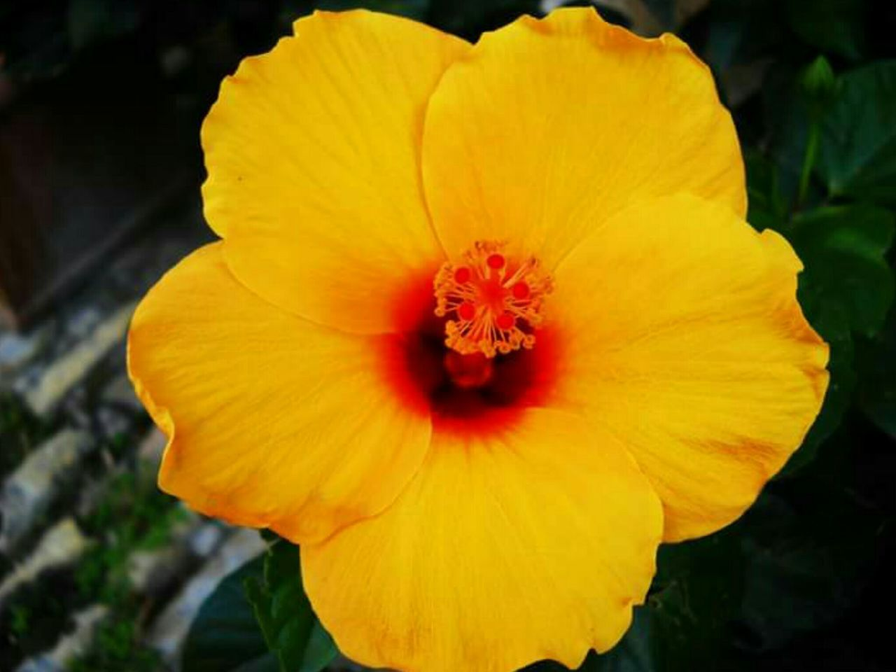 flower, petal, flower head, fragility, beauty in nature, nature, freshness, yellow, plant, growth, blooming, outdoors, day, no people, close-up, stamen, hibiscus