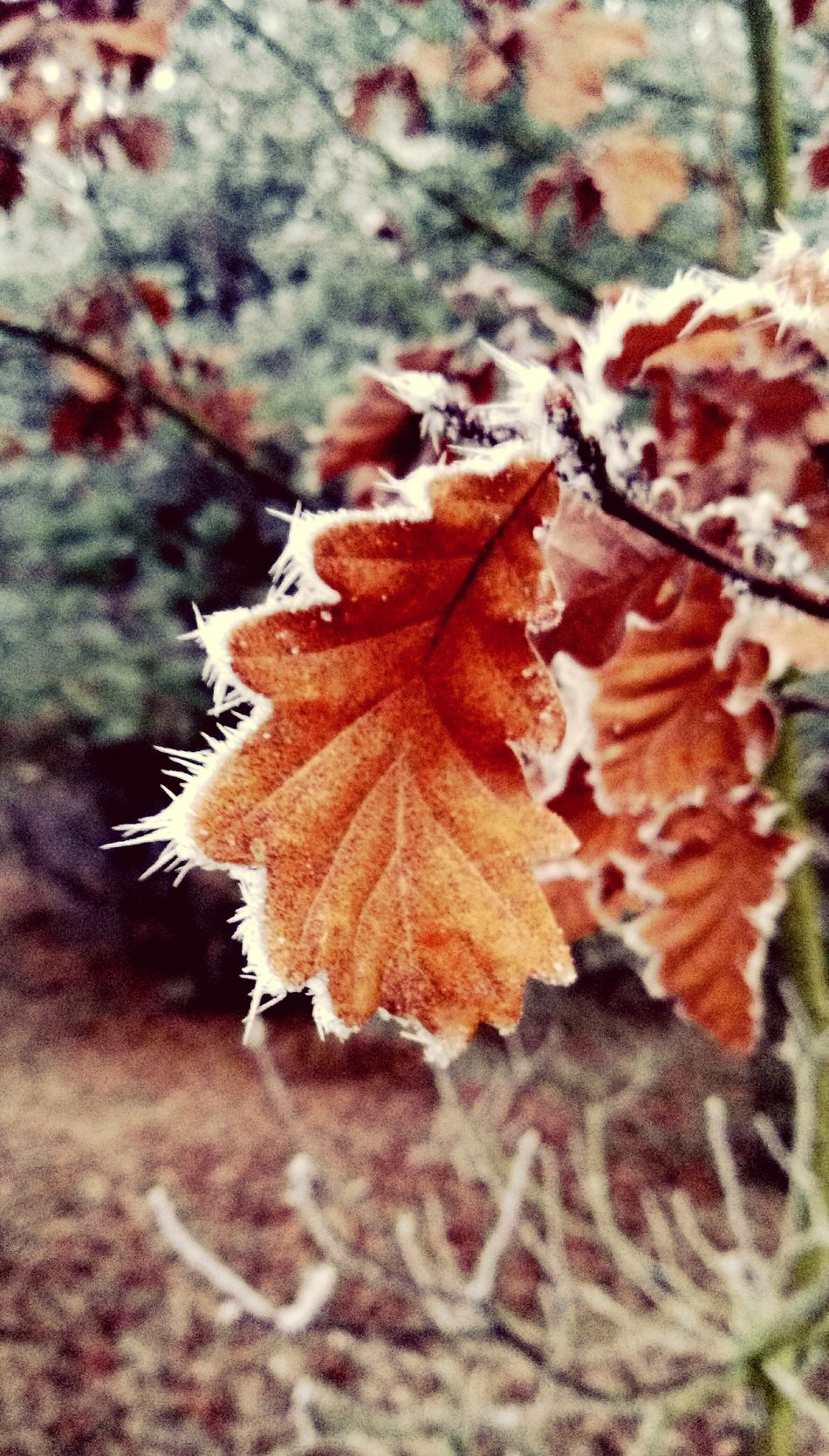 Close-up Nature Autumn Outdoors No People Focus On Foreground Leaf Change Beauty In Nature Fragility Tree Branch Maple LeaffRozen Fog Wintertime Winter_collection Taking Photos Tranquil Scene Woodland Walk Autumnbeauty Autumn Leaves Tranquility Raureif  Morning Light Rime Froast