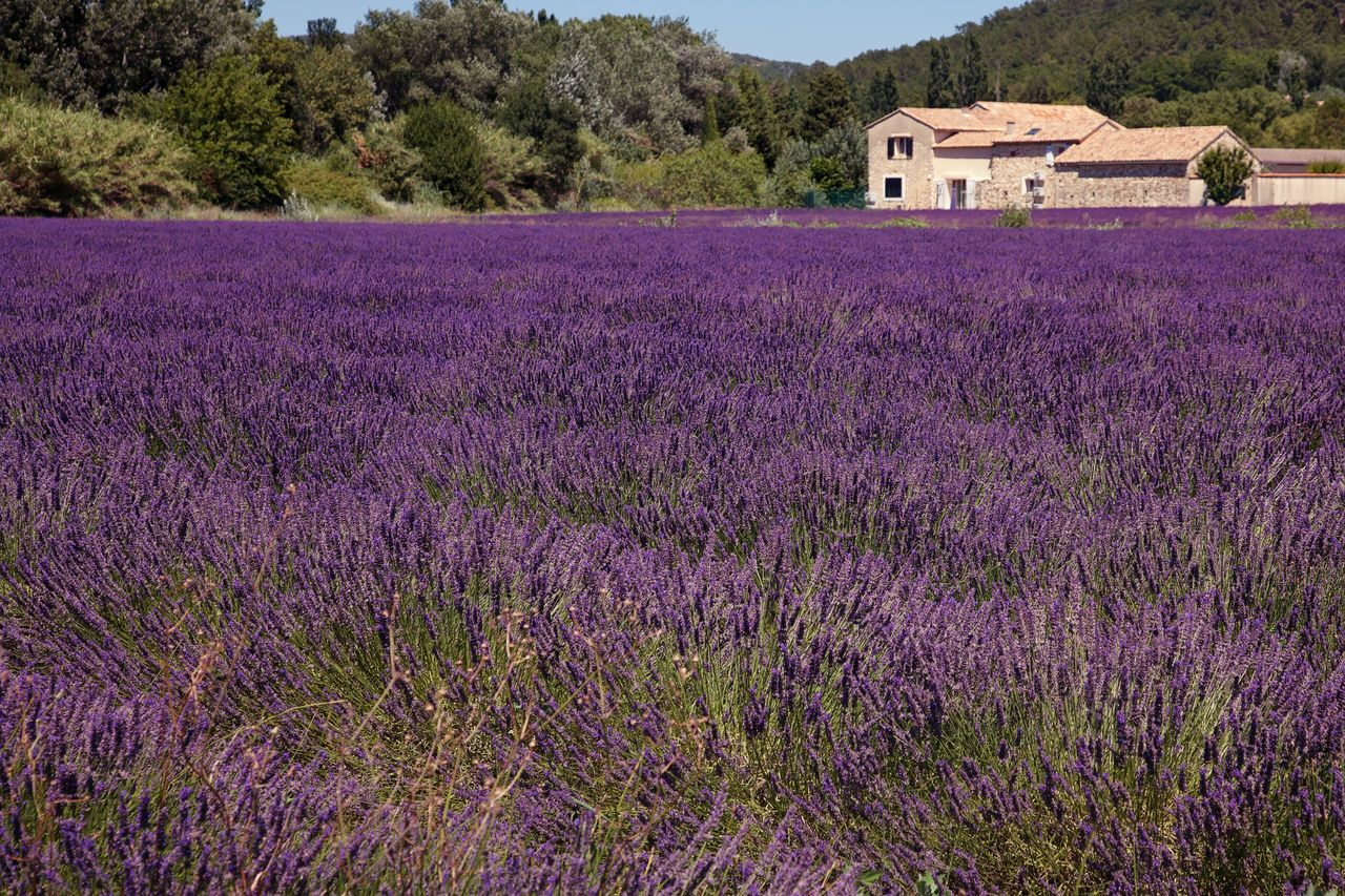 Lavender Field Flower Purple Built Structure Beauty In Nature Nature Field Building Exterior Growth Architecture No People Outdoors Tranquil Scene Plant Scenics Fragility Lavender Rural Scene Day Freshness Landscape