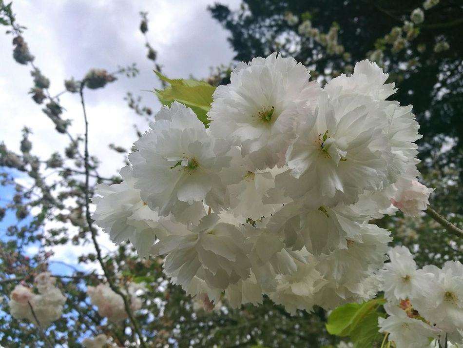 Blossoms  Blossom Blossoming Fresh & Bright Blossom Time🌺 Garden Gardens London Gardens Flower Nature Beauty In Nature Smartphonephotography P9 Huawei Freshness White Color Outdoors Close-up Flower Head Springtime Fragility Spring Day Spring Fruit Tree Blossoms White Blossoms Spring Freshness Spring Garden