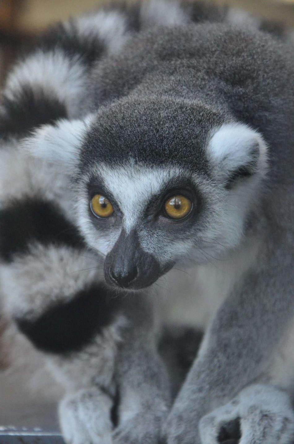 Maki Wildlife Wild Animals Zoo Zooanimals Burgerszoo Loving Nature Animal Photography