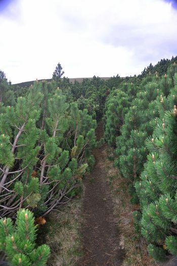 Beautiful Nature Naturephotography Taking Photos Wildlife & Nature Pinus Mugo Just Around The Corner Protecting Where We Play