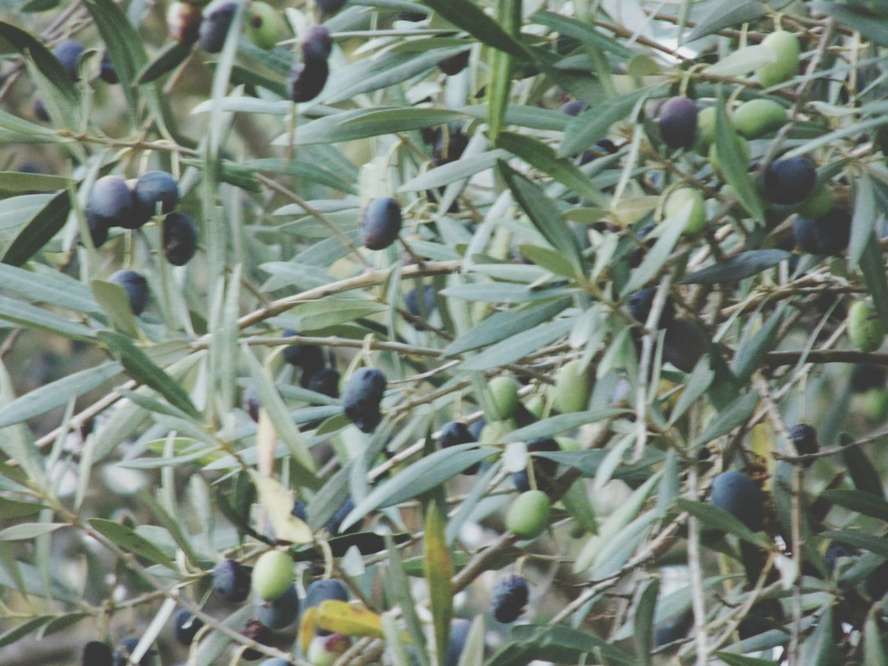 Olive Tree Black Olives Olives Leafs Olive Branch Green Olives Oliveira Eyem Gallery