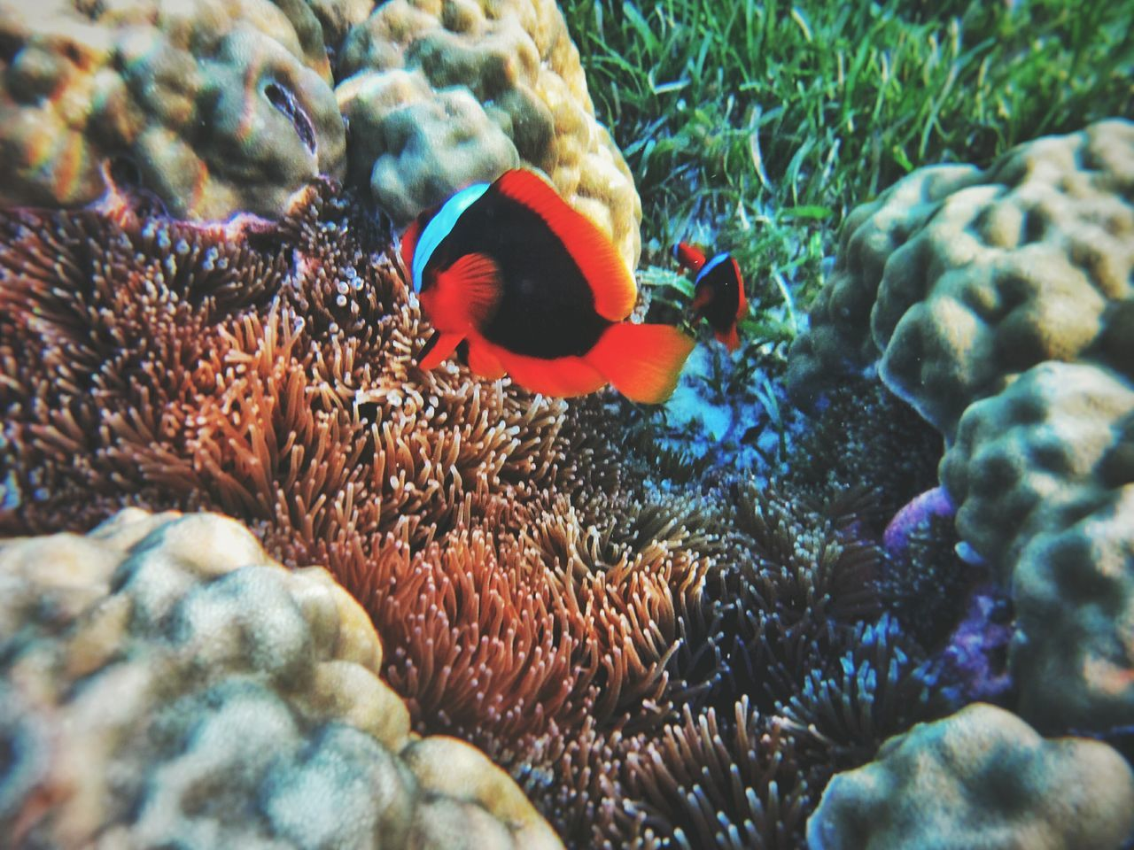 sea life, underwater, animal themes, undersea, animals in the wild, coral, one animal, sea, nature, animal wildlife, no people, water, close-up, clown fish, beauty in nature, day, swimming, sea anemone, outdoors