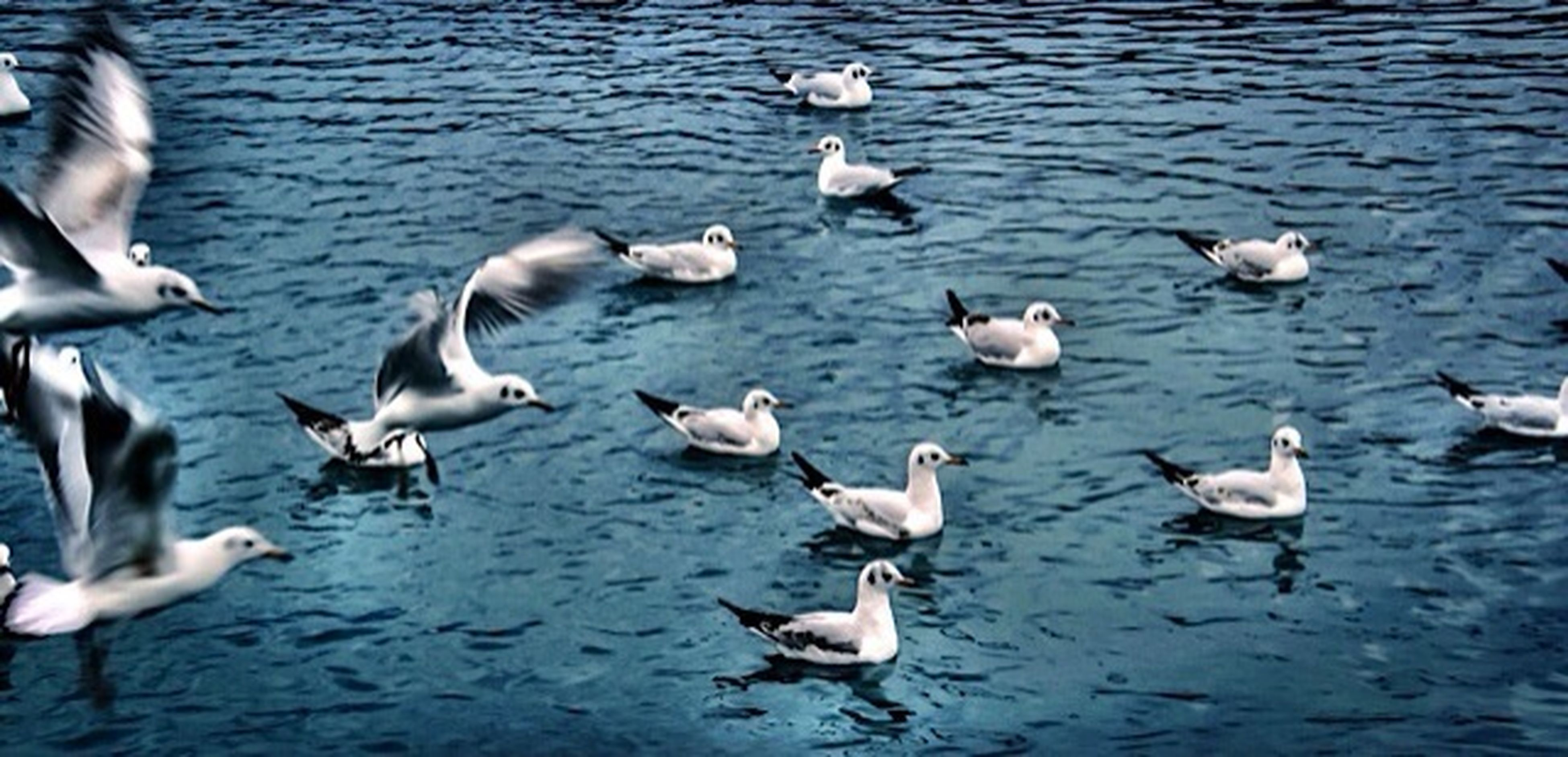 bird, animal themes, animals in the wild, water, wildlife, flock of birds, togetherness, medium group of animals, duck, lake, seagull, nature, waterfront, rippled, goose, swimming, sea, reflection, water bird