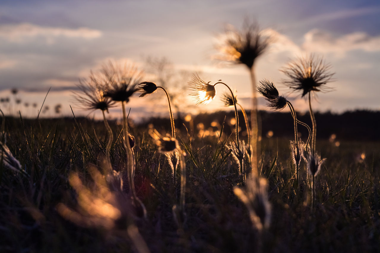 flower, nature, growth, fragility, beauty in nature, plant, sunset, field, selective focus, flower head, freshness, outdoors, no people, tranquility, close-up, sky, grass, day