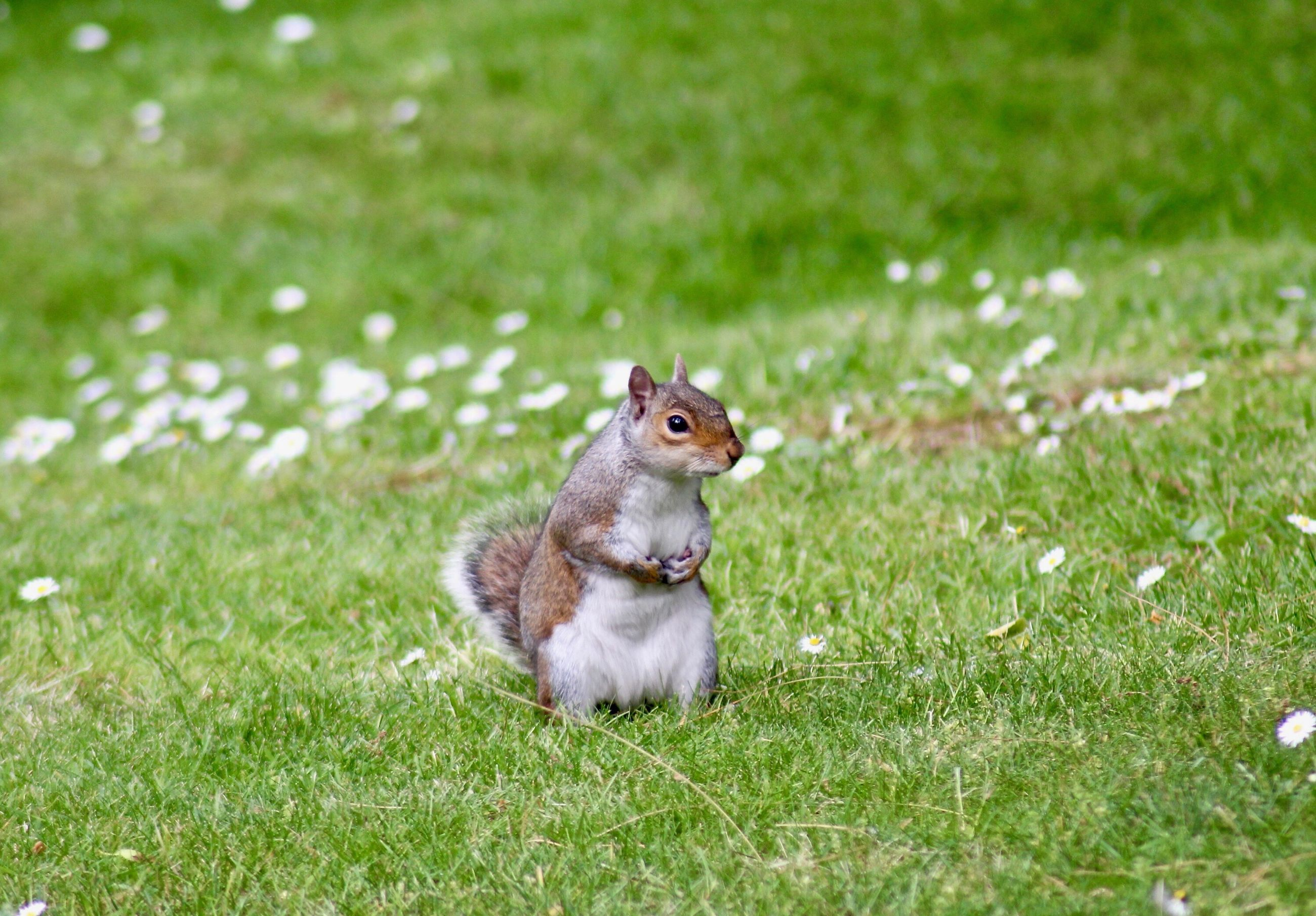 grass, one animal, field, outdoors, animal themes, no people, sitting, squirrel, day, nature, mammal, close-up
