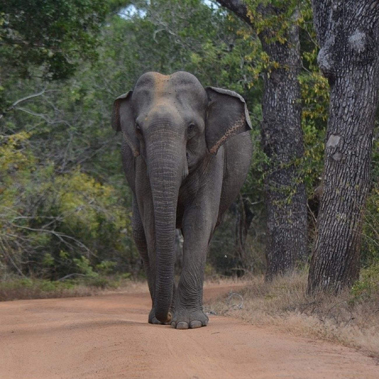 Line elephant in Yala National Park SriLanka Nature Iamsrilanka EarthInstagram elephant yala srilankatailormade srilankawildlife allshots_