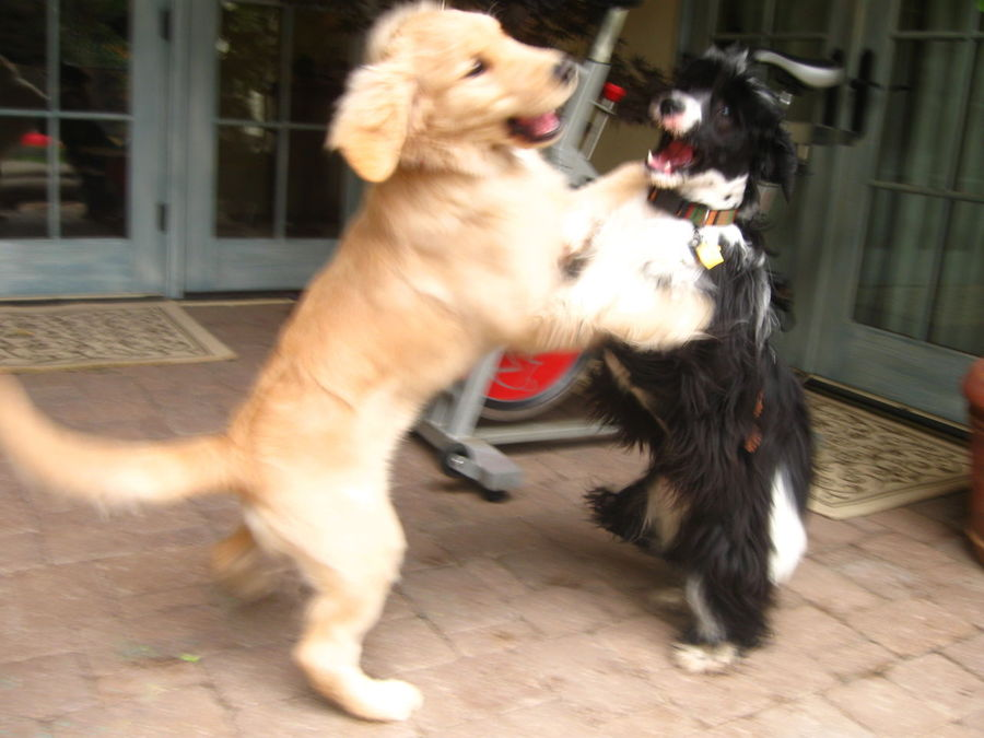 Nala and Konnor playing;golden retriever and Tibetan terrier Animal Themes Balance Day Dog Domestic Animals Excited Fighting Friendship Golden Retriever Golden Retriever Puppy HorsePlay Intense Mammal No People One Animal Outdoors Pets Playing Puppy Purebred Purebred Dog Roughhousing Standing Tibetan Terrier Workout