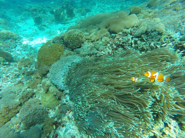 Animal Themes Animal Wildlife Animals In The Wild Bali Beauty In Nature Close-up Clownfish Coral Crystal Bay Day Diving Finding Nemo INDONESIA Nature No People Nusa Penida Outdoors SCUBA Sea Sea Anemone Sea Life UnderSea Underwater Water Miles Away Sommergefühle