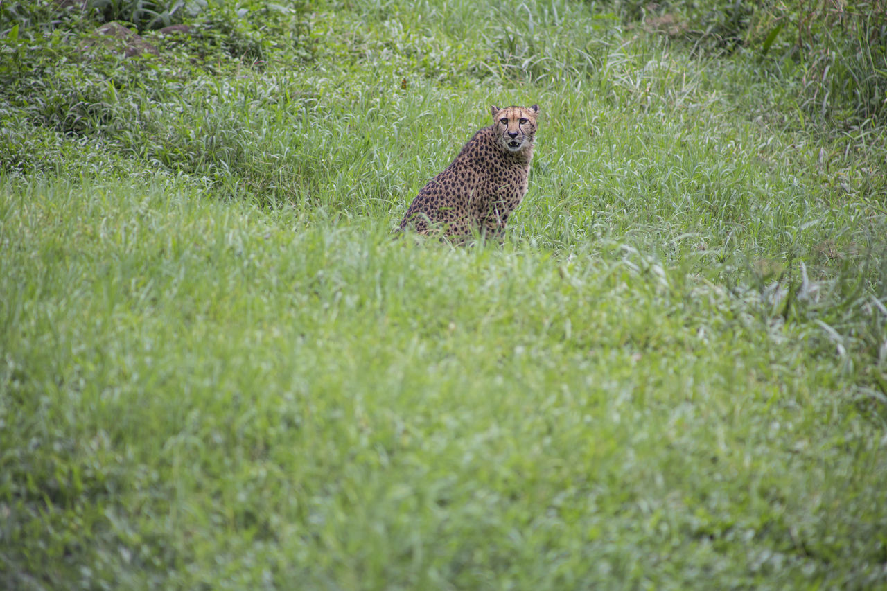 Animal Themes Animal Wildlife Animals In The Wild Beauty In Nature Cheetah Day Field Grass Green Color Growth Leopard Mammal Nature No People One Animal Outdoors Plant