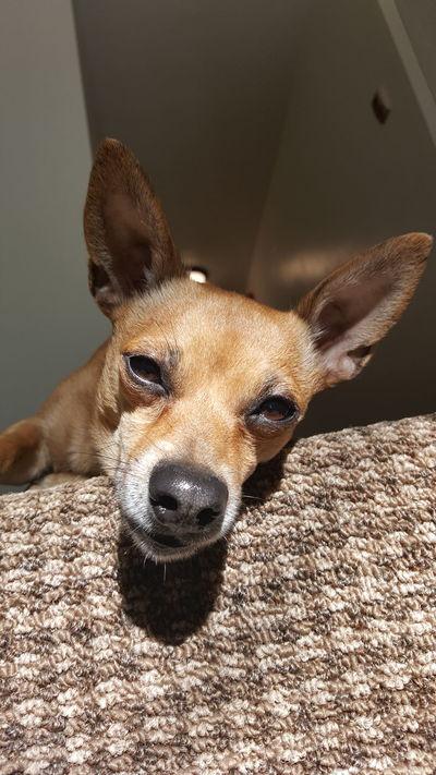Looking At Camera Close-up Animalphotography Dog Photography Ilovemydog Dogofeyeem My Pet Dog Life Dog❤ Peanut Chihuahua Pets Corner Pet Photography  Dogphoto One Animal Wisconsin Taking Photos Mydogiscoolerthanyourkids Doggy