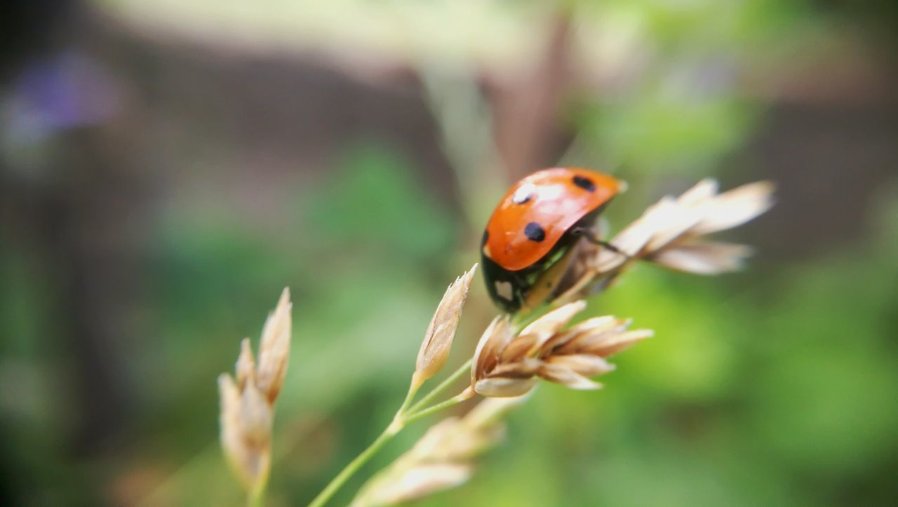 insect, ladybug, nature, animals in the wild, one animal, animal themes, close-up, plant, focus on foreground, fragility, no people, tiny, day, growth, outdoors, beauty in nature, grass