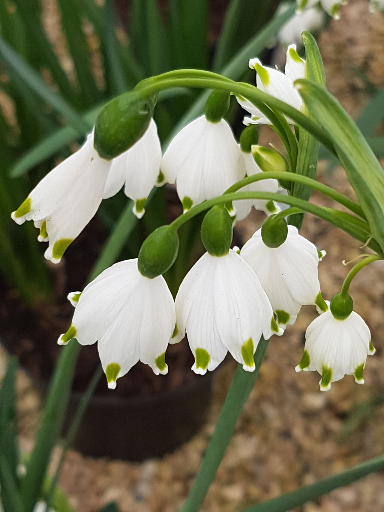 Leucojum Spring Snowflake Nature Beauty In Nature Flower Close-up Focus On Foreground White Color Freshness Plant Fragility Green Color Flower Head Springtime No People Outdoors Day Growth Simple Quiet Love Beauty In Nature Plant Freshness Noedit Nofilter Purist No Edit No Filter