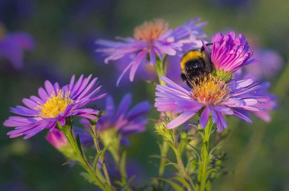 Animal Themes Animal Wildlife Animals In The Wild Beauty In Nature Bumblebee Bumblebee Bumblebee On Flower Day Eastern Purple Coneflower Flower Flower Head Fragility Freshness Growth Humble-bee Nature No People One Animal Outdoors Plant Pollen Purple