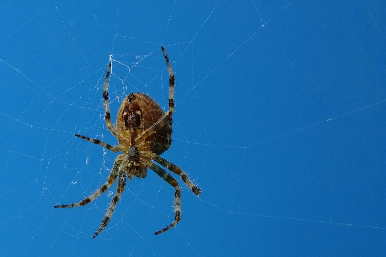 Beautiful stock photos of spider's, Animal Themes, Animal Wildlife, Beauty In Nature, Blue